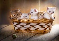 Fem kattungar av brittiska Shorthair föder upp i korgen Royaltyfria Bilder