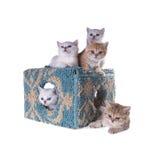 Fem kattungar av den brittiska Shorthair aveln på ett kubhus isolate Fotografering för Bildbyråer