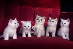 Fem kattungar av den brittiska Shorthair aveln sitter på det röda cet Royaltyfria Foton