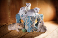Fem kattungar av den brittiska Shorthair aveln spelar runt om cet Royaltyfria Foton