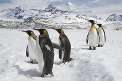 Fem konungpingvin som släntrar i snön Arkivbilder