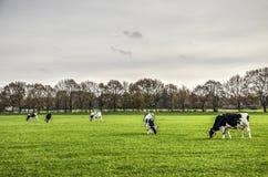 Fem kor i ett grönt fält fotografering för bildbyråer
