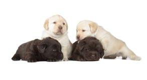 Fem labradorvalpar Fotografering för Bildbyråer