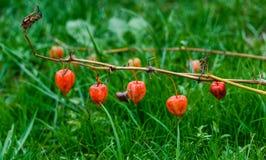 Fem lilla höra-formade röda frukter Royaltyfria Foton