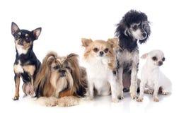 Fem lilla hundkapplöpning royaltyfri foto