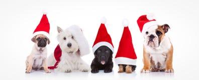 Fem lilla hundkapplöpning som bär Santa Claus hattar Arkivbilder