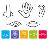 Fem mänskliga avkänningar luktar, siktar och att höra, smak, handlagvektorsymboler vektor illustrationer