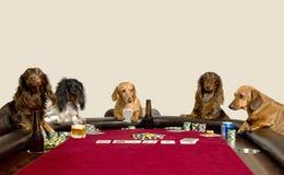Fem Mini Dachshunds som spelar en lek av poker Arkivbild