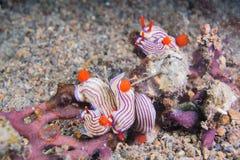 Fem nudibranchs Royaltyfri Fotografi