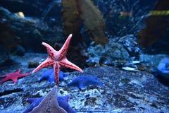 Fem-pekad sjöstjärna i ett akvarium Gdynia, Polen royaltyfria foton