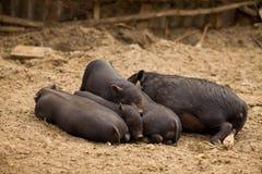 Familj av pigs Arkivfoto