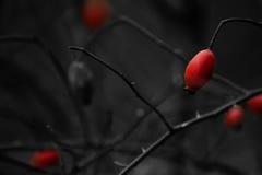Fem röda lösa rosor på den mörka bakgrunden Royaltyfri Fotografi