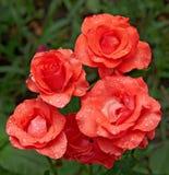 fem röda ro Royaltyfri Foto
