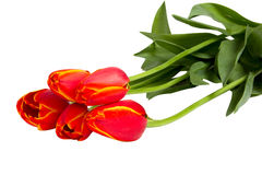 Fem röda tulpan Fotografering för Bildbyråer