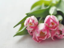 Fem rosa tulpan som är ordnade på den vita trätabellen Blommabakgrund, suddighet Selektiv fokus på framdelen Arkivfoton