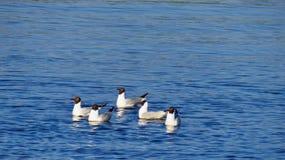 Fem seagulls Arkivfoto