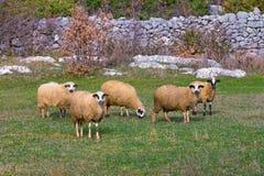 Fem sheeps i beta stämma överens områdesområden som Bosnien gemet färgade greyed herzegovina inkluderar viktigt, planera ut terri arkivfoton
