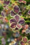 Fem-sidor bryner växt av släktet Trifolium Royaltyfri Fotografi