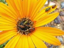 Fem skalbaggar på en tusensköna Arkivfoton