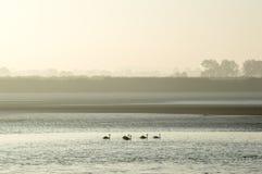 Fem svanar som svävar ner en flod på en dimmig höstmorgon royaltyfri foto
