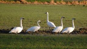 Fem trumpetaresvanar i en bondes fält Arkivfoto