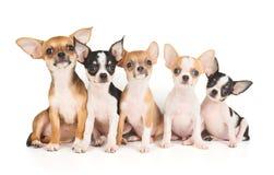 Fem valpar av Chihuahua fotografering för bildbyråer
