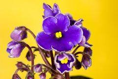 fem violetta petals Arkivbild