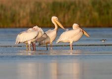 Fem vita pelikan vilar på vattnet Arkivbild