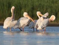 Fem vita pelikan vilar på vattnet Royaltyfri Fotografi