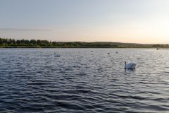 Fem vita svanar i en sjö på solnedgång Royaltyfri Fotografi