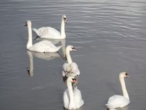 Fem vita svanar i floden royaltyfria bilder