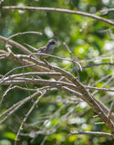 Female Sardinian Warbler Stock Photography