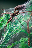 Femail Fishing Spider in Web Nest. A large female fishing spider with her baby spiders in a web Stock Image