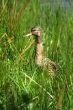 Femail mallard. Duck uk wildfowl grass bird rspb wetland feathers duck down pillow beak Stock Images