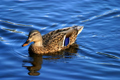Femail mallard duck on water. Duck wildfowl beak rspb lake water uk wildlife blue bird wildlife Royalty Free Stock Photos