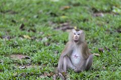 Femail monkey Royalty Free Stock Image