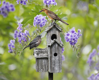 Birds On A Bird House. Femaile Black Bird And A Baby Bird Perching On A Bird House stock photography