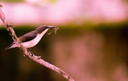 Femakle колибри стоковая фотография rf