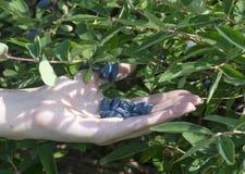 Femal手用莓果 库存照片