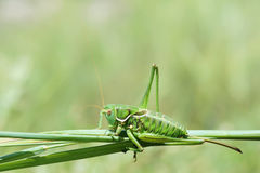 Femal cricket Stock Image