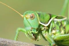 Femal cricket royalty free stock photo
