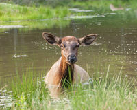 Femal elk Stock Photography