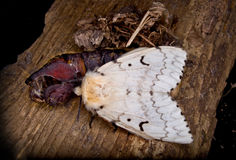 A Femal Gypsy Moth Royalty Free Stock Photo