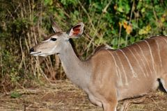 Femal kudu listening, one ear cocked back listening. stock photo