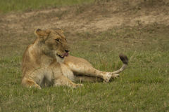 Femal lion in Masai Mara Royalty Free Stock Image