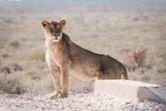 Femal Lion standing on Road. Single Female Lion (Panthera leo) standing on road, Etosha National Park, Namibia stock photo