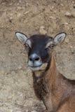 Femal Moufflon, баран Musimon, сцена живой природы от природы Стоковые Фотографии RF