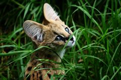 Femal Serval Cub. In long grass Stock Photos