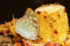 Female of Aarchduke butterfly on fruit Royalty Free Stock Photo