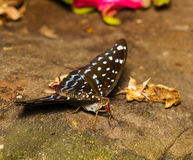 Female of Aarchduke butterfly on fruit Stock Image
